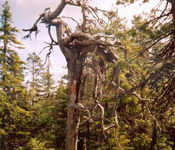dm_tree1.jpg