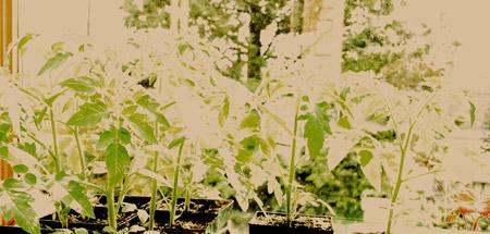tomatoesinsolarium.jpg