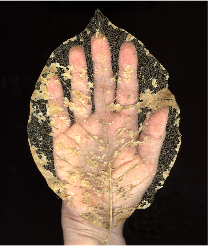 "Hand with Leaf (2012)  Archival Inkjet on Hahnemuhle PhotoRag Satin Heavy  45.5 x 38.5 cm. (18"" x 15.25"")"