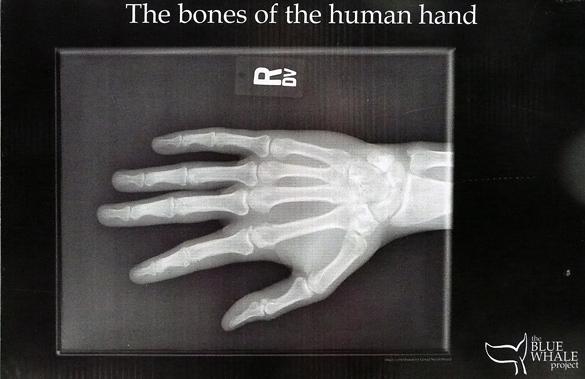 Beaty_HumanHandBones.jpg