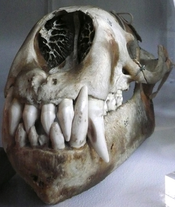 Beaty_walruskull.jpg
