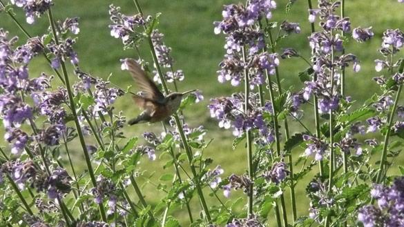 HummingbirdCatmint.jpg