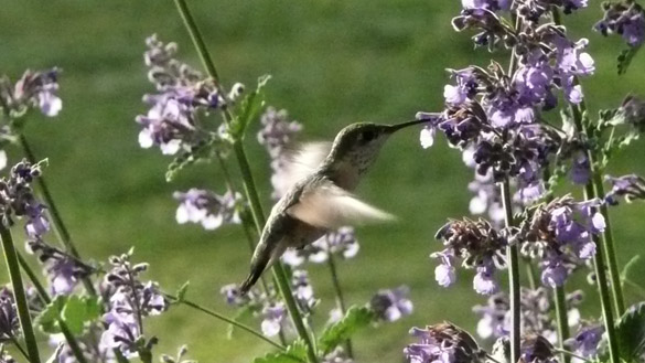 HummingbirdCatmint2.jpg