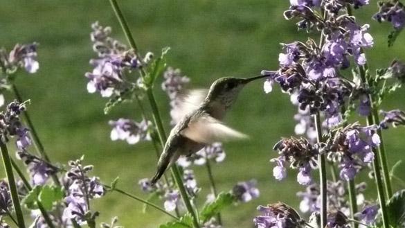 HummingbirdCatmint2.jpg