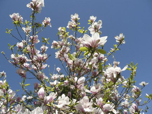 MagnoliasBlueSky.jpg