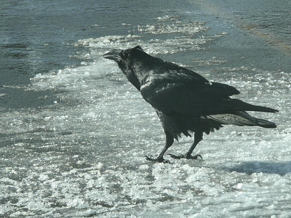MtSeymourFeb2013_raven.jpg