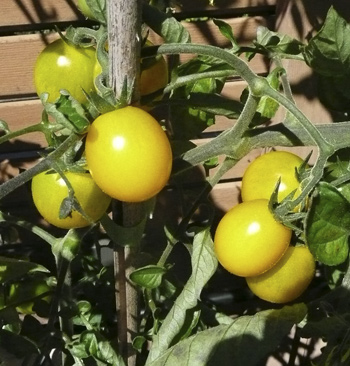 YellowTomatoes2011.jpg