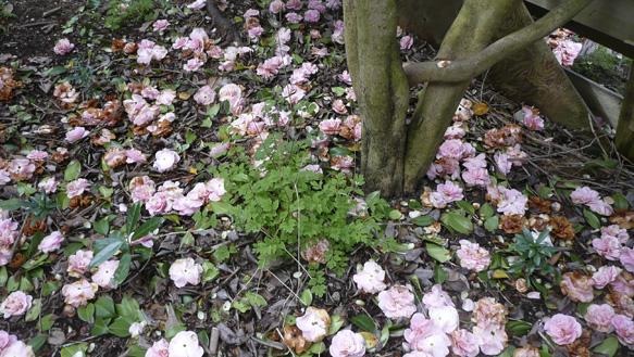 camelliacarpet.jpg