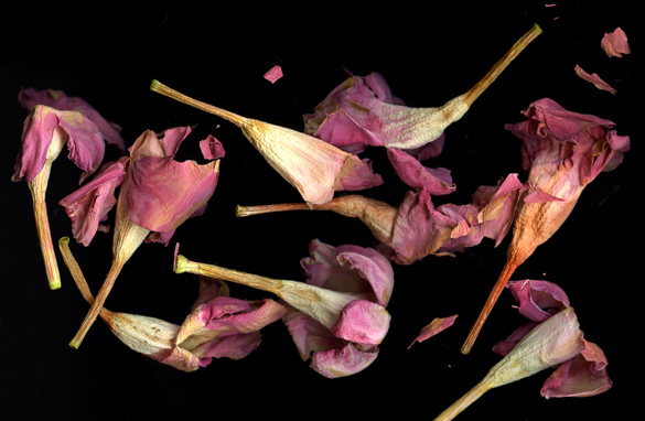 dipladenia_dried.jpg