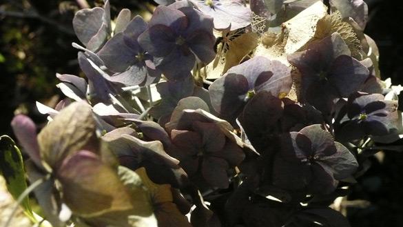 fadedhydrangea.jpg