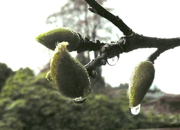 magnoliabuds2013.jpg
