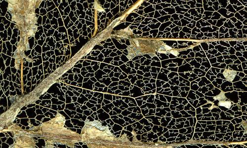 magnolialeafskeleton2detail.jpg