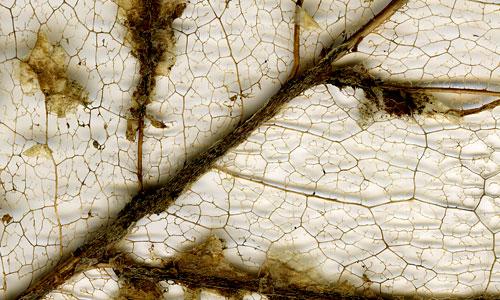 magnolialeafskeletondetail.jpg