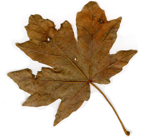 mapleleaf_back2.jpg
