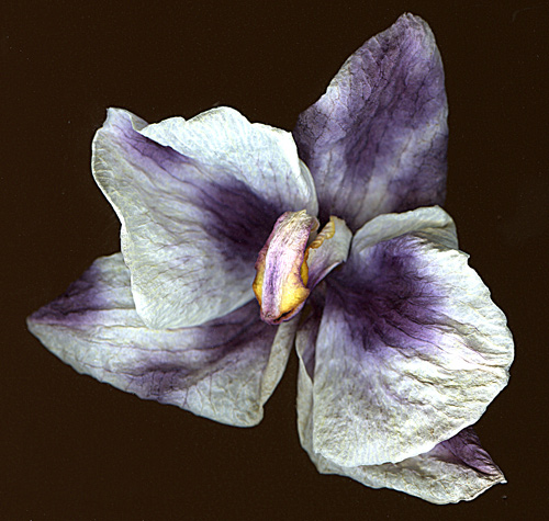 orchid2scan.jpg