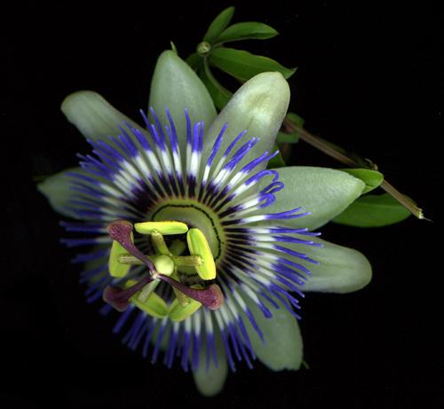 passiflora2012.jpg