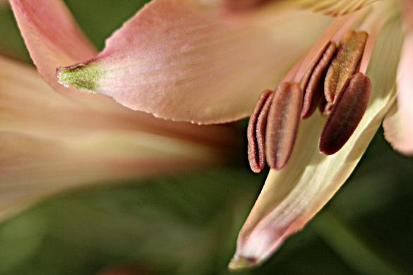 peachAlstromeria.jpg
