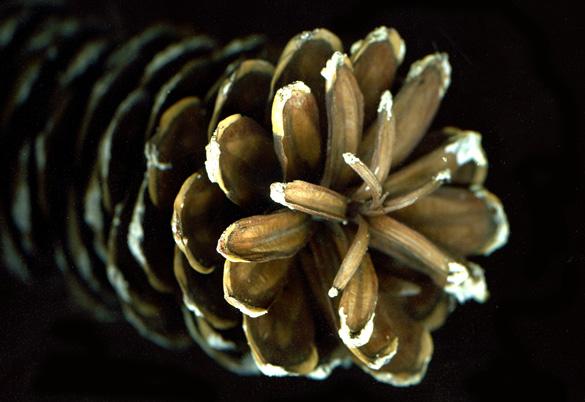 pinecone2_2011.jpg