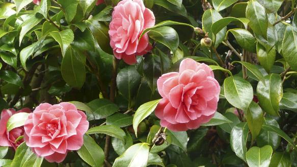 pinkcamellia2011.jpg