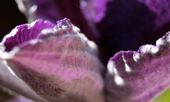 purpleClematis.jpg