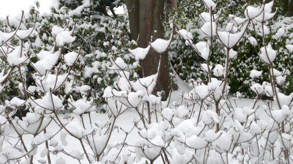 snowyAzaleas27Feb11.jpg