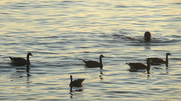 swimmer_geese.jpg
