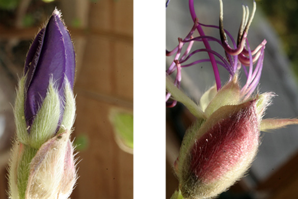 tibouchina_before_after.jpg