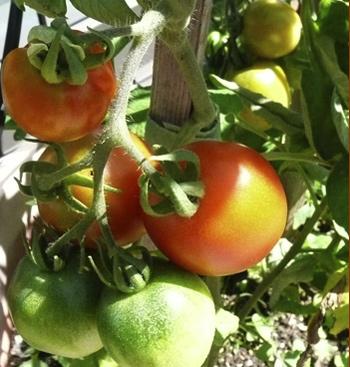 tomatoes2011.jpg