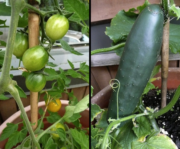 tomatoes_cuke.jpg