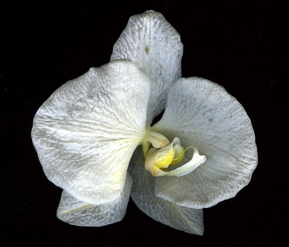 white-moth-orchid.jpg