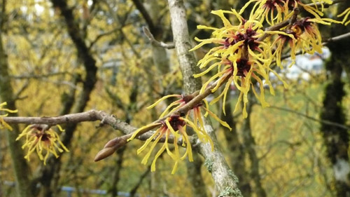 witchHazel.jpg