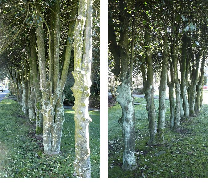 HollyTrees
