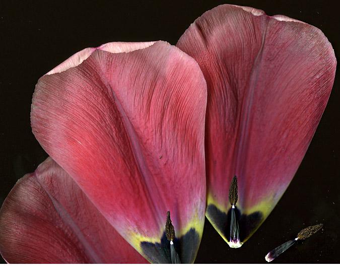 TulipPetalsDetails
