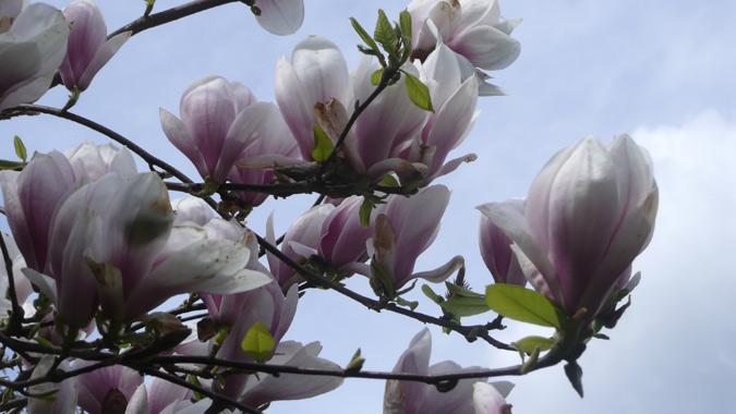 magnolia2014