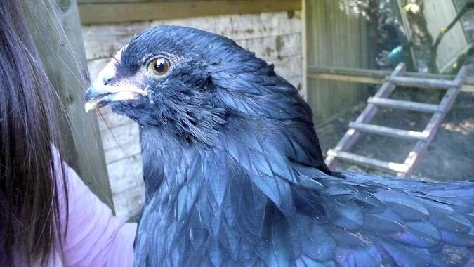 black_chicken