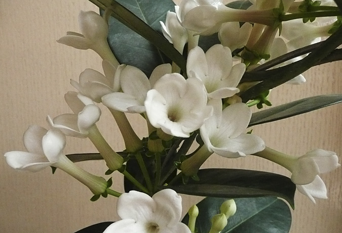stephanotis_detail