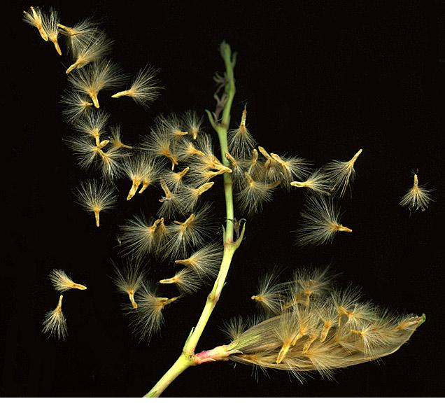 OleanderSeeds_72