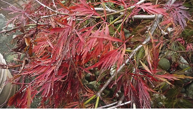 JapaneseMaple_Nov2015